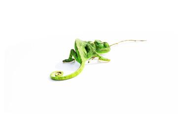 Beyaz zemin üzerinde yeşil bukalemun