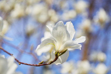 White magnolia flowering background. Botanical background.