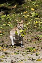 Flinkwallaby - Macropus agilis