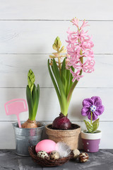 Easter still life. Pink hyacinth in a pot and Easter eggs in a nest on a white background