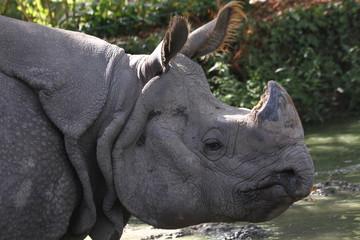 Rhinocéros devant une rivière