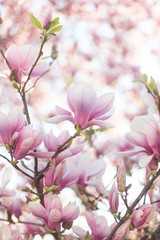 Close up of magnolia blossoms with blurred background and warm sunshine