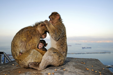Berberaffen von Gibraltar (Macaca sylvanus) - Barbary macaque