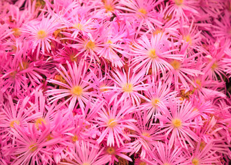 Flowering Plant in Aizoaceae Family: Pink Livingstone Daisies or Buck Bay vygies, Ice Plant or carpet weed, and Ruschieaes Flowers. Colorful Blossoming vivid Pink Flower Carpet Background.
