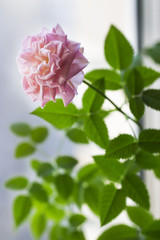 Pink rose and green leaves on white and blue background