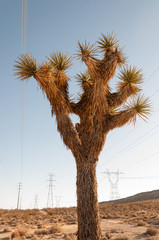 Yucca brevifolia Joshua Tree in Southern California