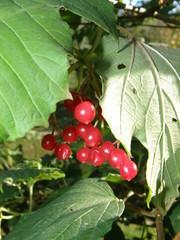 калина красная зеленый кустарник дерево природа ягода плод