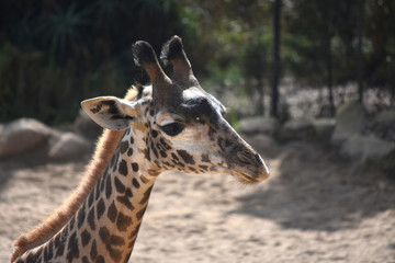 Adorable nubian giraffe with a cute face