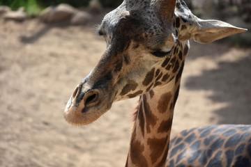 Adorable photo of an adult giraffe's face