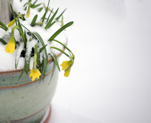 Snow covered Daffodills in a garden pot in early spring