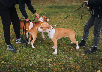 Cute puppies of the American Staffordshire Terrier walk in the autumn park with their master. Dogs from the same litter.