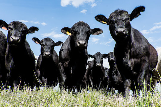Black Angus herd - low angle