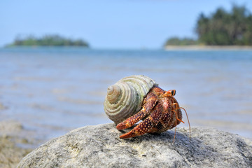 Hermit crab sit on a rock  against Muri lagoon Rarotonga Cook Islands