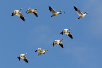 Snow Geese Flying in Formation