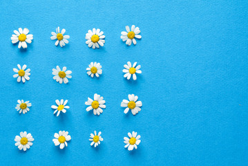 daisy flowers on blue