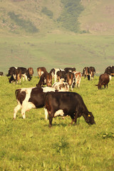 Cows grazing on a dairy farm