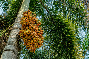 Fruit of fox tail palm