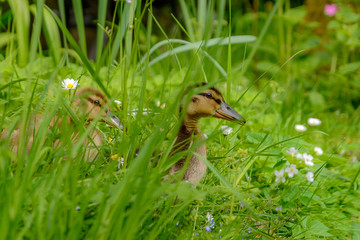 two ducklings hiding in high grass