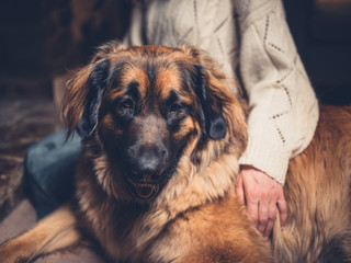 Woman with giant leonberger dog at home