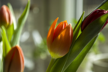 Orange tulip - closeup