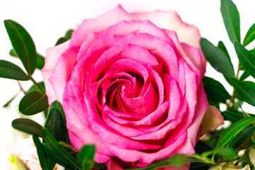 Pink rose. Beautiful, bright flower close up