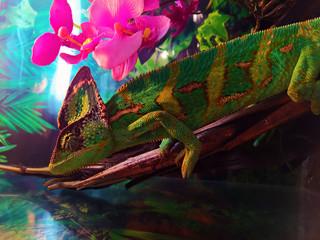 Хамелеон зелено-желтого цвета, крупным планом, на веточке, с красивым размытым фоном
