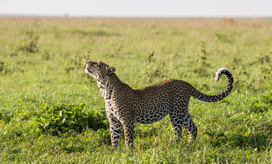 Leopard in the savannah. National Park. Kenya. Tanzania. Maasai Mara. Serengeti. An excellent illustration.