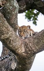 Leopard on a tree. National Park. Kenya. Tanzania. Maasai Mara. Serengeti. An excellent illustration.