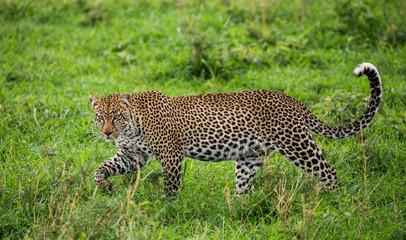 Leopard in the savannah. National Park. Kenya. Tanzania. Maasai Mara. Serengeti. An excellent illustration.