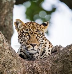 Portrait of a leopard on a tree. Close-up. Classical picture. National Park. Kenya. Tanzania. Maasai Mara. Serengeti. An excellent illustration.