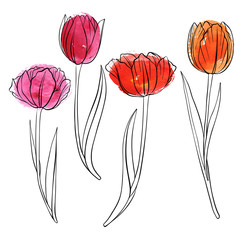 vector drawing flowers of tulip