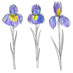 vector drawing flowers of iris