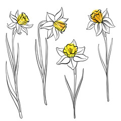 vector drawing flowers of anrcissus