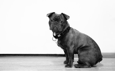 Pug dog grey with simple background