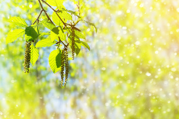 Spring background with branch with catkins of alder