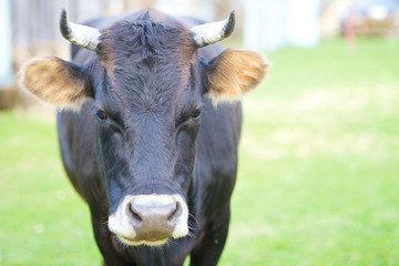 beautiful rustic black cow standing in the village and looking at the camera