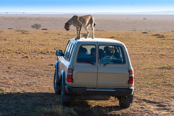 Africa. The leopard climbed the car with tourists. Safari in Africa. African leopard in the wild. Kenya. Travel to Kenya.