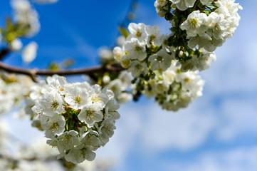 Firi del ciliegio