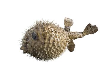 hedgehog fish isolated on white background