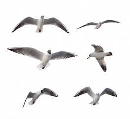 Set Of Six Flying Seagulls Isolated On White Background