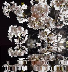 mirrored night cherry / 水面に映る夜桜のお花見