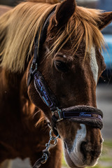 portrait américain de cheval