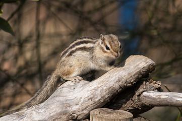 枝に登るシマリス