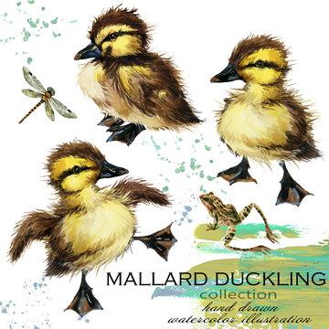 duck mallard hand drawn watercolor illustration set