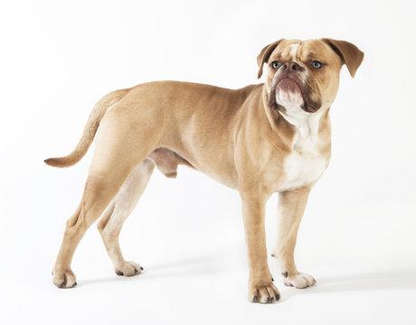 olde english bulldog standing