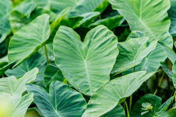 View of tropical nature green caladium leaves