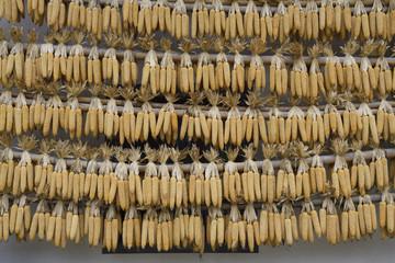 Corn cobs drying