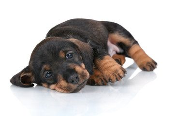 Spoed Fotobehang Hond Little cute puppy dachshund on a white background