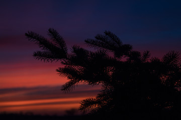 Pine Branch against Purple and Pink Horizon, Silhouette Photography