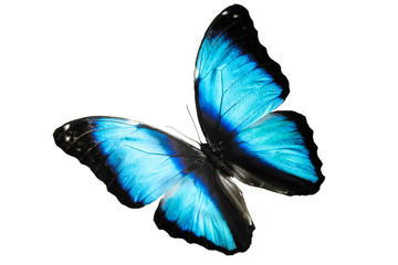 blue butterfly Morpho didius flies